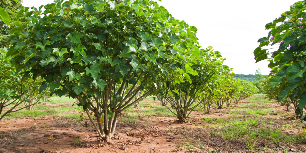Eine Plantage der Purgiernuss