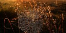 Spinnennetz zwischen Getreide im Abendrot