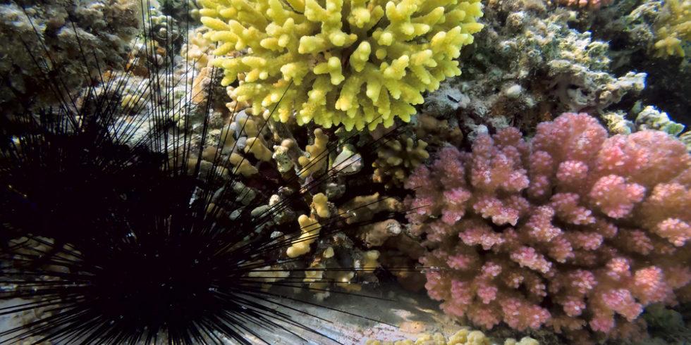 Seeigel und Korallen