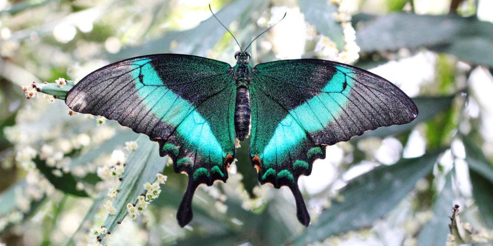 Morphos-Schmetterlin Papilio Palinurus)