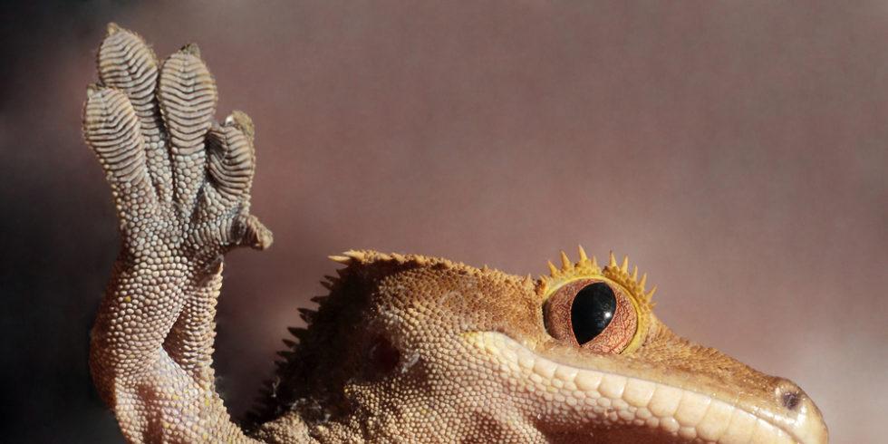 Gecko von unten auf einer Glasplatte
