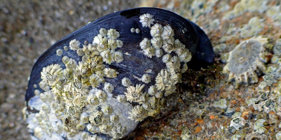 Seepocken auf einer Miesmuschel
