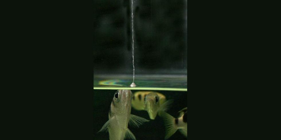 Schützenfisch spuckt einen kerzengeraden Wasserstrahl senkrecht in die Luft