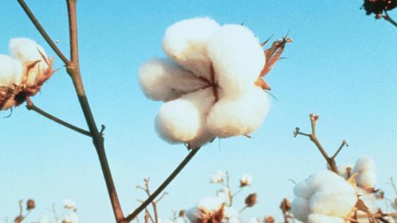 """Baumwolle: Trotz """"Bio"""" mit gentechnisch veränderten Pflanzen manipuliert?"""