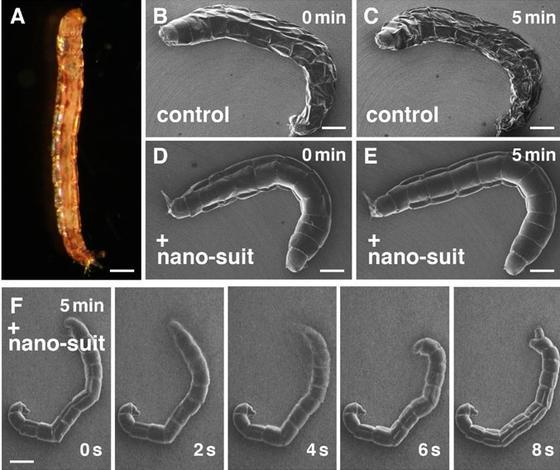 Japanische Wissenschaftler haben entdeckt, dass sich manche Larven durch einen Nano-Schutz vor dem Wasserverlust im Vakuum schützen können (D und E), während andere Larven innerhalb von fünf Minuten vertrocknen (B und C).