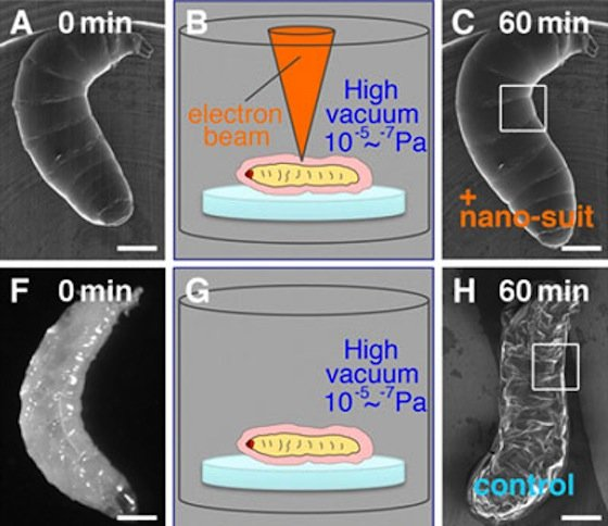Die Schutzschicht können Larven mit Hilfe der Strahlen aus dem Rasterelektronenmikroskop herstellen (oben) und sich optimal gegen Feuchtigkeitsverluste schützen. Bleibt die Strahlung aus, können die Larven im Vakuum keine Schutzschicht bilden und vertrocknen.