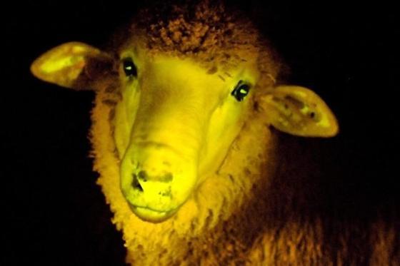 Eingesetzes Quallen-Gen bringt Schaf zum Leuchten.