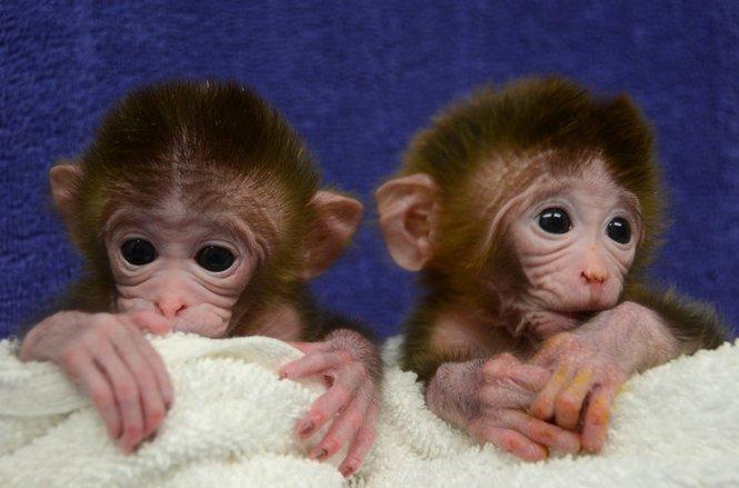 Bevor Shoukhrat Mitalipov mit menschlichen Embryonen experimentierte, betrieb er Klonforschung an Rhesusaffen, die wie Menschen zu den Primaten zählen.