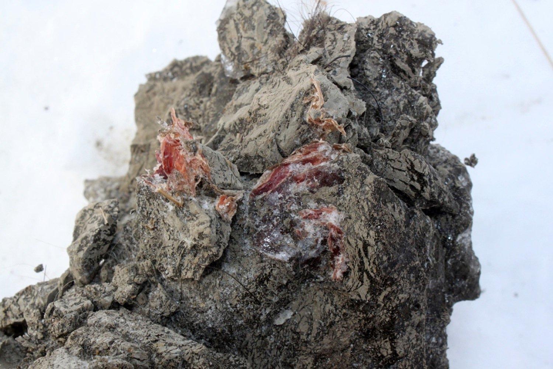 Das Mammut ist so gut erhalten, dass sogar noch rosa-farbenes Fleisch gefunden wurde.