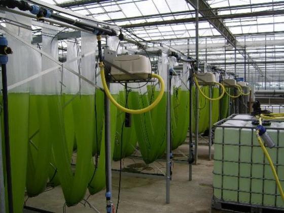 """Einer der Partner im Forschungsprojekt """"Aufwind"""" ist das Unternehmen """"NOVAgreen"""". Hier werden Maschinen für die Algenproduktion entwickelt. Das Foto zeigtEinzelreaktoren, die von oben über eine Ringleitung mit Luft und CO2versorgt werden. Zusätzlich liegt eine Medienringleitung in der oberen Versorgungsrinne.Die Ernteleitungssysteme sind im unteren Teil der V-Reaktoren angebracht."""