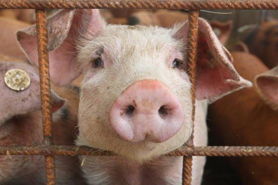 Ein Spin-off der Uni Bonn hat ein Verfahren entwickelt, mit dem die Zucht geruchsfreier Schweine vereinfacht wird.