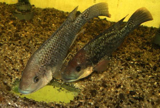 Mosambik-Buntbarsche (Oreochromis mossambicus)leben in trübem Wasser und sind sehr lichtempfindlich. Sie nahmen im Versuch die infrarote Strahlung bis zu einem Spektralbereich von über 930 nm wahr.