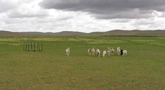 Das Grasen des Viehs in den Steppen sorgt dafür, dass weniger Lachgas freigesetzt wird.