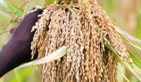 Reis: In den Hüllen des Getreides verbergen sich Siliziumverbindungen.