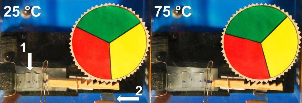 Modell einer Wärmekraftmaschine: Ein Antriebselement (1) aus dem Temperatur-Gedächtnis-Polymer entfaltet sich beim Abkühlen und bewegt damit eine Zahnstange, die wiederum eine Drehscheibe vorantreibt. Beim Erwärmen zieht sich das Antriebselement wieder zusammen und bewegt dabei die Zahnstange zurück. Die Zahnstange wird mittels eines zweiten Elements (2) aus dem reversiblen Temperatur-Gedächtnis-Polymer in der Vorwärtsbewegung gegen das Zahnrad gedrückt, in der Rückwärtsbewegung findet eine Entlastung statt.