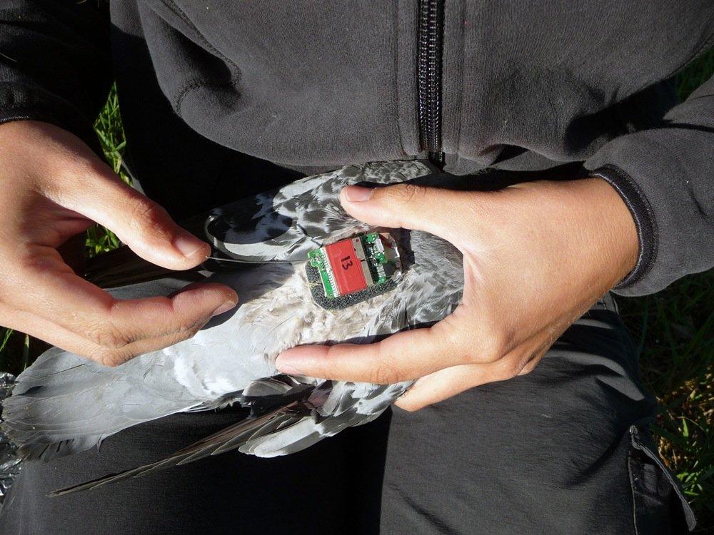 Taube wird mit einem Mini-GPS-Logger ausgerüstet.