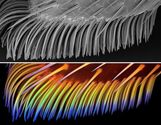 Hafthaare des Siebenpunkt-Marienkäfers, visualisiert mit einem Rasterelektronenmikroskop (oben) und einem Konfokalen Laserrastermikroskop (unten). Strukturen mit hohen Konzentrationen des Proteins Resilin sind blau dargestellt.