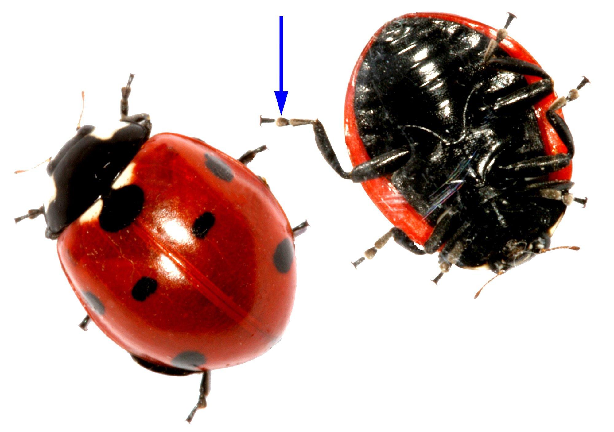 Oberseite und Unterseite eines Siebenpunkt-Marienkäfers: Der blaue Pfeil markiert exemplarisch eines der Hafthaarpolster des Käfers.