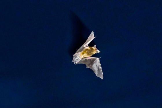 Eine Fledermaus jagt vor dem nächtlichen Himmel nach Insekten. Ein Forschungsprojekt der Uni Hannover zum Fledermaussterben an Windkraftanlagen sorgt unter Naturschützern für Aufruhr.