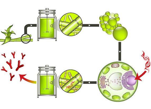 So funktioniert der Moosbioreaktor: In Mooszellen ohne Zellwand wird Fremd-DNA (rot) mit den gewünschten Proteingenen eingeschleust. Die Zellwand wird anschließend wieder aufgebaut und die Moospflanzen kultiviert.