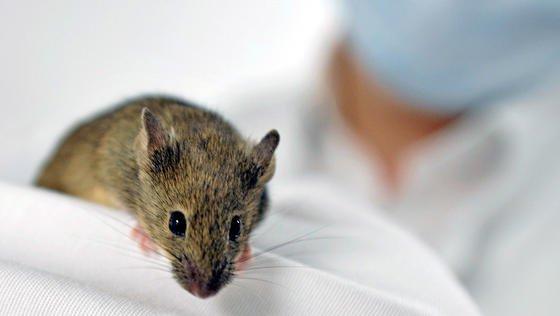 Spanische Forschern haben es geschafft, Stammzellen direkt im Körper von Mäusen zu züchten.