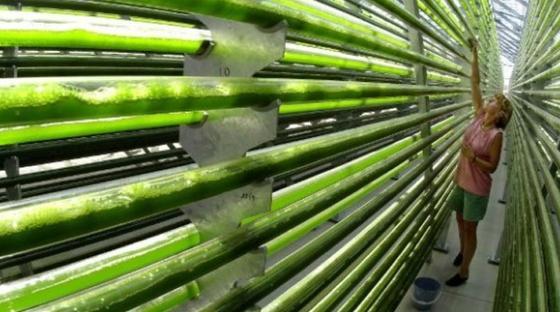 Mikroalgen:Ihre Zucht ist derzeit so teuer, dass die daraus hergestellten Treibstoffe nicht konkurrenzfähig sind. Hamburger Forscher wollen dies ändern, indem sieTechnologien zur Extraktion und Verarbeitung von hochpreisigen Nebenprodukten entwickeln.