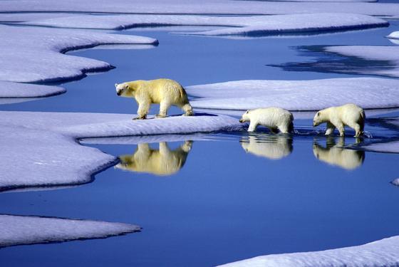 ARCHIV - Eine Eisbärenmutter marschiert mit ihren beiden Jungen auf Futtersuche über Eisschollen im Gebiet der Nordwest-Passage in Kanada: Nach neuestes Prognosen des Weltklimarates IPCC schmelzen die Gletscher und Polkappen noch schneller als erwartet. Bis zum Ende des Jahrhundert wird der Meeresspiegel um bis zu 82 Zentimeter steigen.