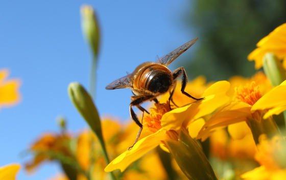Die Honigbiene orientiert sich bei ihrer Nektarsuche stark am Geruch.
