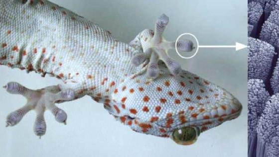 Die Nanohärchen am Gecko-Fuß besitzen eine enorme Haftkraft.
