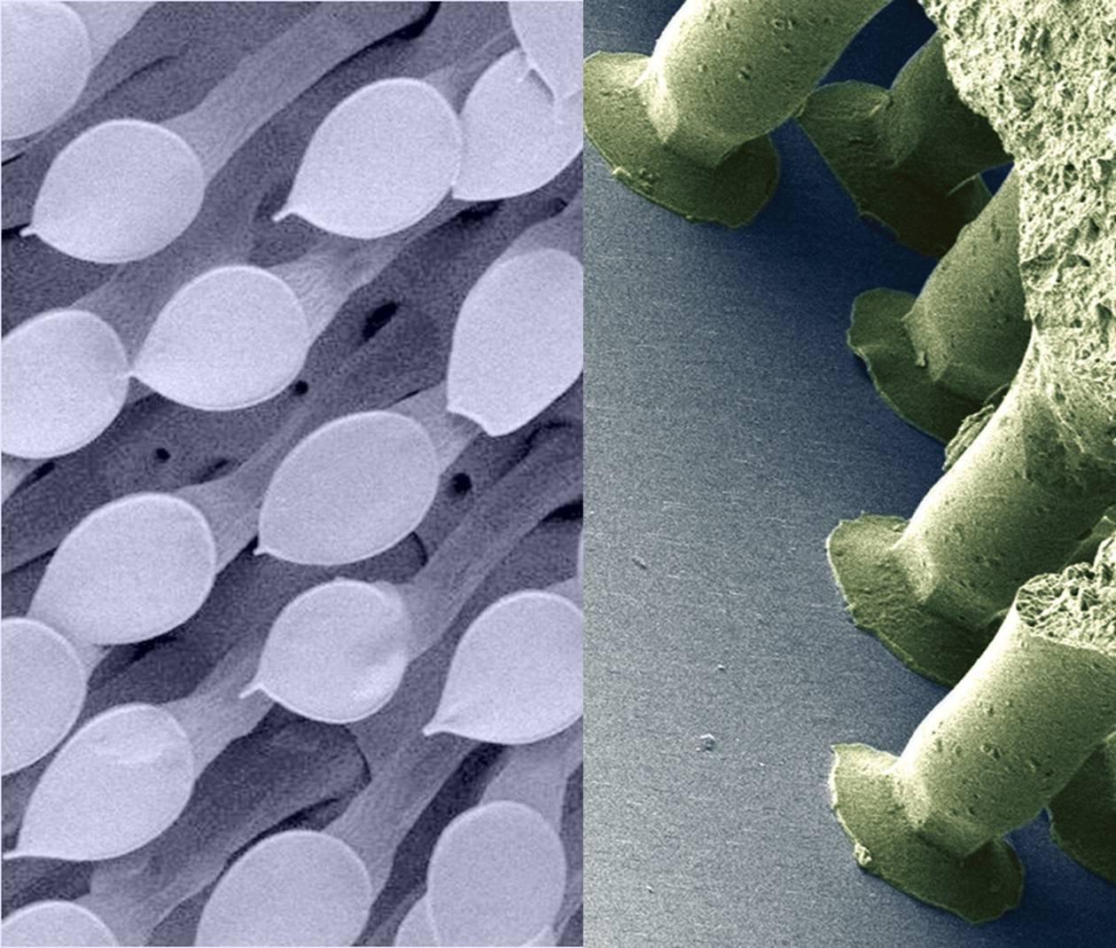 Rasterelektronenmikroskopische Aufnahmen von pilzkopfförmigen Haftstrukturen eines männlichen Blattkäfers (li.) und des Gecko®-Tapes (re.), dessen Haftelemente denen des Käfers nachempfunden sind.