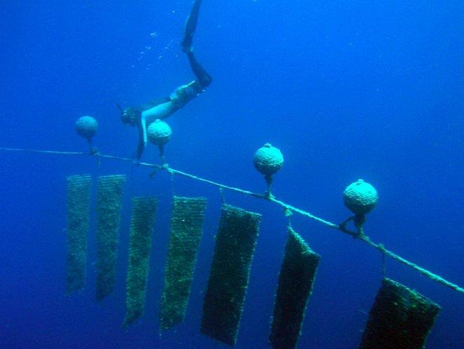 Von besseren Methoden zur Herkunftsbestimmung dürfte auch die nachhaltige Perlenzucht, die an vielen Küsten tropischer Meere betrieben wird, profitieren.
