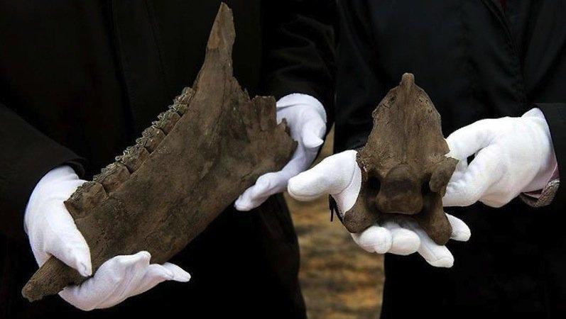 Diese Kostbarkeiten fassen die Archäologen nur mit Handschuhen an: Links ist der Unterkiefer und rechts der Halswirbel eines etwa130000 Jahre alten Pferdeskeletts zu sehen.