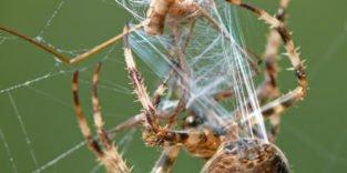 Spinnenfaden für Schutzwesten