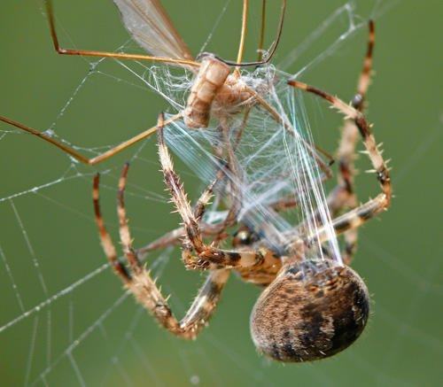 EineGartenkreuzspinne zieht mit den Beinen Spinnenfäden aus den Spinnwarzen an ihrem Hinterleib heraus. Spinnenfäden haben hervorragende Eigenschaften, so dass man versucht, sie künstlich herzustellen.