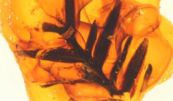 Für die Studie wurden Proben aus beinahe allen wichtigen Bernstein-Vorkommen weltweit untersucht. Dieser Bernstein mit einem Einschluss von fossilen Nadeln ist etwa 77 Millionen Jahre alt.