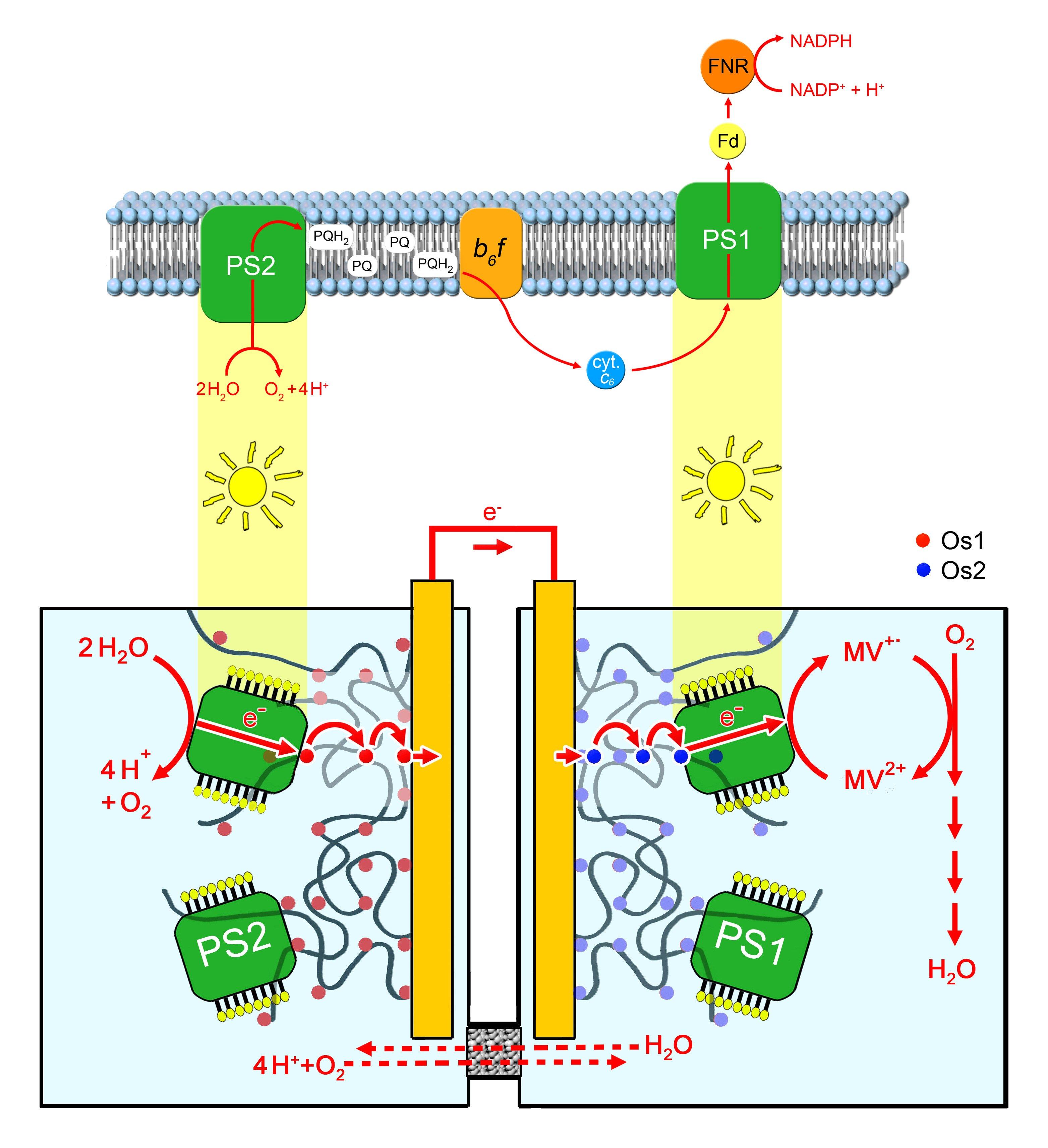 """Die neue Bio-Solarzelle besteht aus zwei Kammern: In der ersten bewirkt der Proteinkomplex """"Photosystem 1"""" (PS1) die Abspaltung von Elektronen aus Wassermolekülen. Diese fließen über Elektroden in die zweite Kammer. Dort koppelt sie PS2 an Sauerstoff und es entsteht Wasser. Angetrieben wird das System von Lichtenergie."""