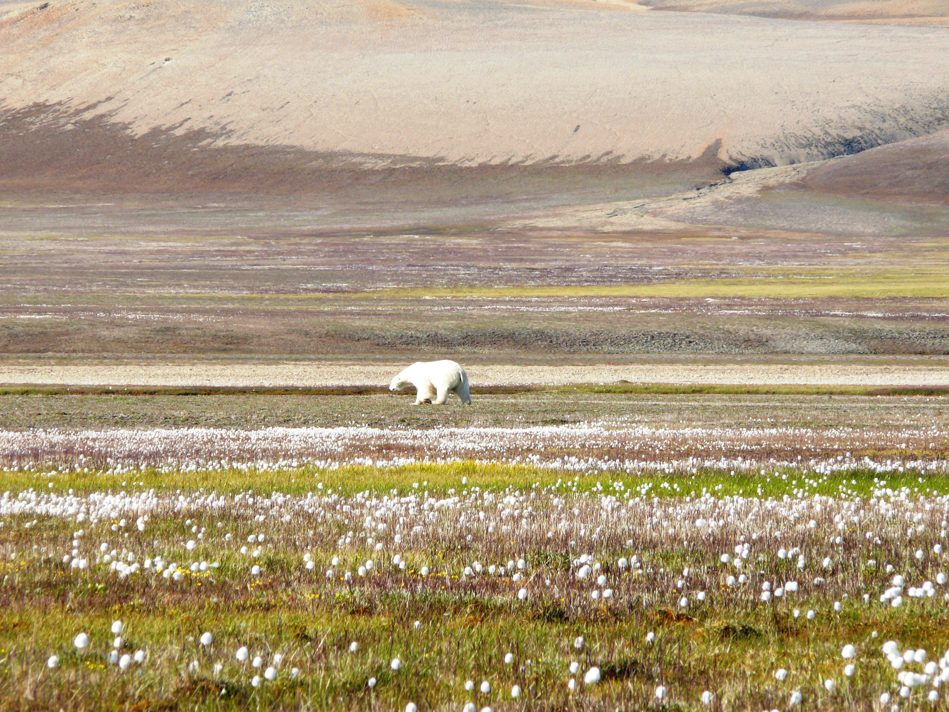 Ein Eisbär auf einer aufgetauten Blumenwiese: Im Sommer tauen auch die Permafrostzonen Sibiriens immer länger auf.