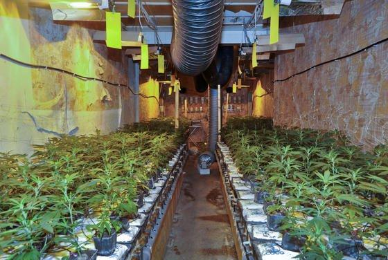 Cannabis-Produktion mit 2000 Pflanzen in einem Wohnhaus: In Großbritannien hat der Anbau so zugenommen, dass die Energieversorger nun Fahndungseinheiten bilden, um dem illegalen Abzapfen von Strom für den Cannabis-Anbau auf die Spur zu kommen.
