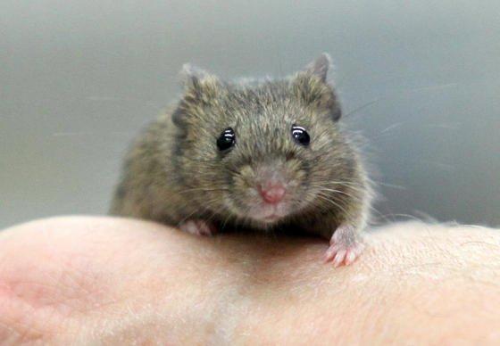 Forscher haben die Aktivität eines Proteins, das Zellalterung verursacht, in Versuchsmäusen gehemmt. Dadurch funktioniert ihr Immunsystem auch im Alter noch gut, die altersbedingte Blutarmut verlangsamt sich.