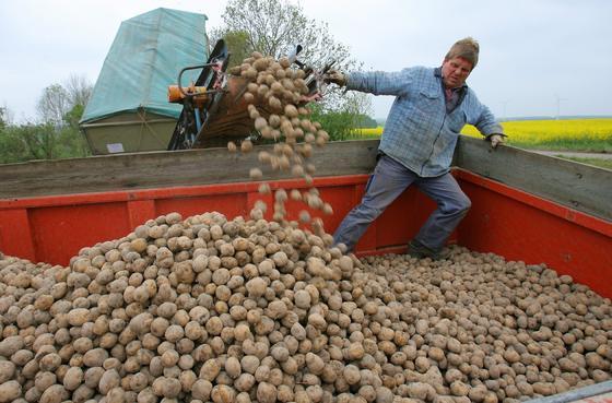In Bütow im Müritzkreis wurde am 5. Mai 2009 erstmals die gentechnisch manipulierte Kartoffel Amflora ausgesäht. Unter amtlicher Aufsicht wurden die Kartoffeln auf 20 Hektar in den Boden eingebracht. Jetzt hat der Europäische Gerichtshof die Zulassung des Anbaus aufgehoben. Allerdings wird die Kartoffel schon seit 2010 nicht mehr in Deutschland angebaut.