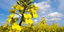 Streit über Pestizide für Raps und Rüben entbrannt
