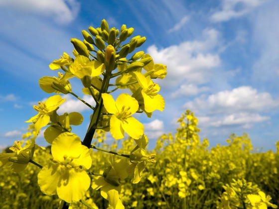 Agrarfirmen und Landwirte wollen Ernteausfälle bei Raps durch bestimmte Insektengifte verhindern.