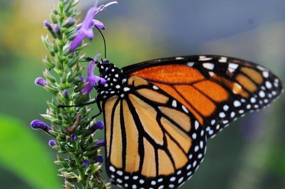 Ein Monarchfalter (Danaus plexippus) im National-Zoo von Nicaragua in Managua. Wissenschaftler haben herausgefunden, dass die Tiere bei ihren Wanderungen zur Orientierung nicht nur die Sonne, sondern auch einen magnetischen Kompass nutzen.
