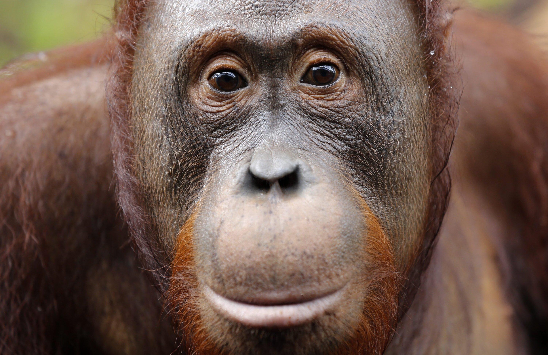 In Indonesien kämpft der Orang Utan bereits um sein Überleben. Die riesigen Palmölplantagen bieten ihm keinen adäquaten Ersatz für sein eigentliches zu Hause: den Regenwald.
