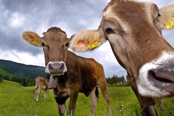 Kühe auf einer Almwiese bei Trauchgau/Ostallgäu: Umweltschädliches Ammoniak entsteht, wenn Mikroorganismen Harnstoff und Eiweiß der Exkremente zersetzen.