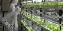 Gemüseanbau in japanischen Hightech-Fabriken