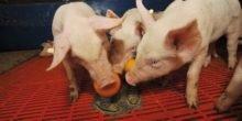 Neues Spielzeug für Schweine verringert Verletzungsquote