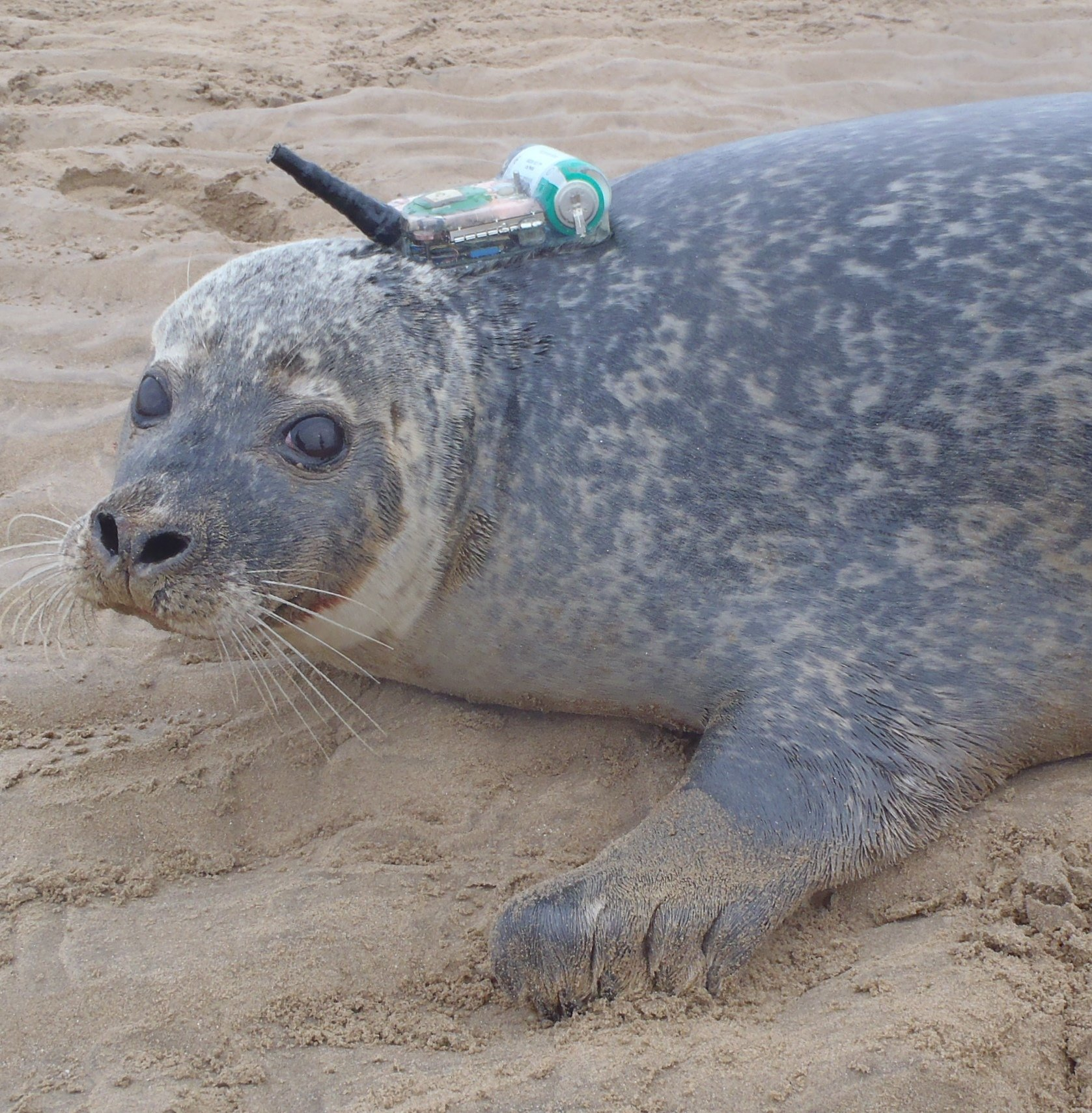 Seehund mit einem GPS-Empfänger und Sendeeinheit: Forscher derbritischen University of St Andrews haben 120 Seehunde und Kegelrobben in der Nordsee mit Sendern ausgerüstet, um ihre Bewegungen aufzuzeichnen.