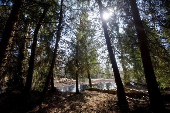 Schon seit 30 Jahren ist bekannt, dass Bäume Ultraschallwellen erzeugen. Die Ursache war bislang jedoch ein Rätsel. Die Lösung: Bei Wassermangel geraten die trockenen Gefäßwände der Bäume für Millisekunden in Schwingung.