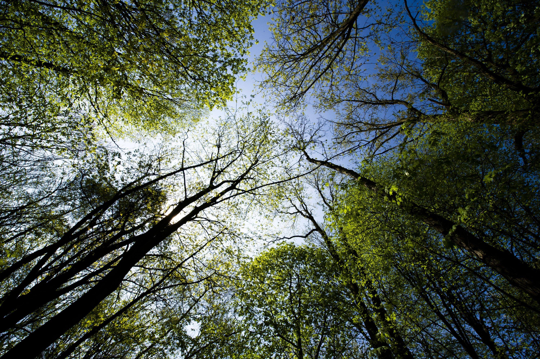Infolge des Klimawandels kämpfen immer mehr Wälder mit Trockenheit. Wie es um die Bäume steht, können Forscher dank der neuen Erkenntnisse zukünftig auch mit Mikrofonen prüfen.